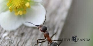 Ant crawling next to a white flower