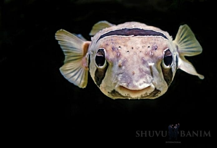 close up of a puffin fish on a black background