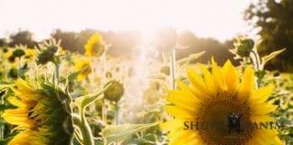 Sunlight in a field of sunflowers