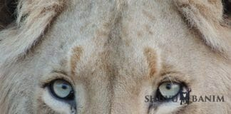 close up of a lion's eyes