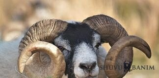 picture of a ram
