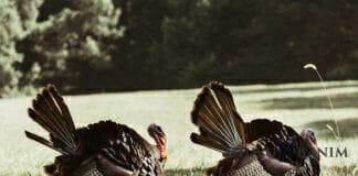 two turkeys walking on grass