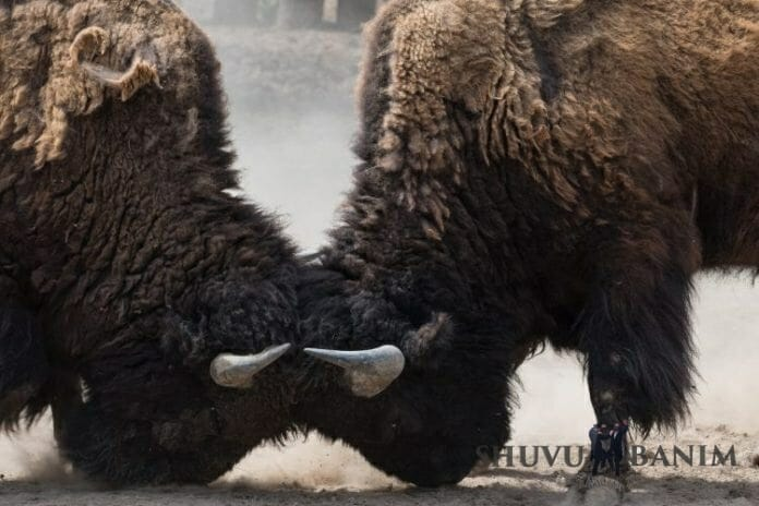 Two bison butting heads